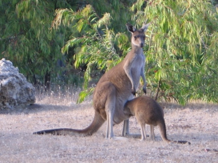kangaroos-version-of-putting-your-head-in-the-sand
