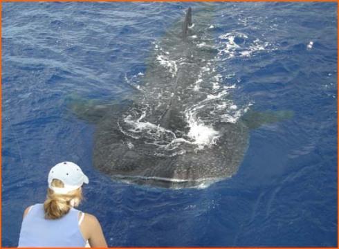 WhaleShark%202