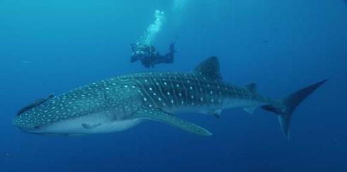 whaleshark6