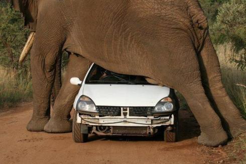 A planked elephant